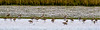 JD2A9811  Blacktailed Godwits