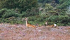 JD2A9895  Sika Deer