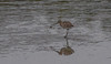 JD2A9866  Curlew with crab