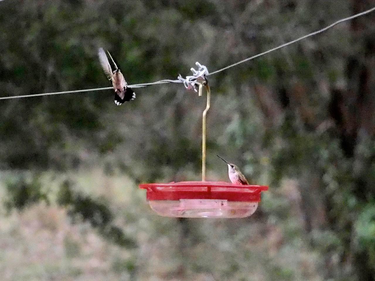 +2018-03270290 Hummingbirds Are Back – Version 2