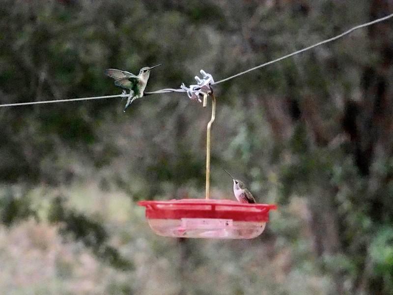 +2018-03270289 Hummingbirds Are Back – Version 2