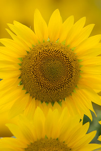 vertical sunflower 9-1