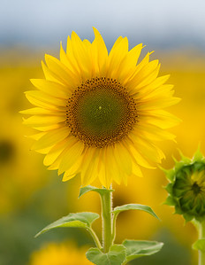 vertical sunflower 3-1