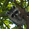 A baby raccoon in our mango tree.