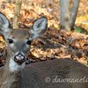 November 17 - Close-up of the light-nose doe.