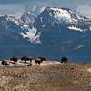 Bison, Teton Range
