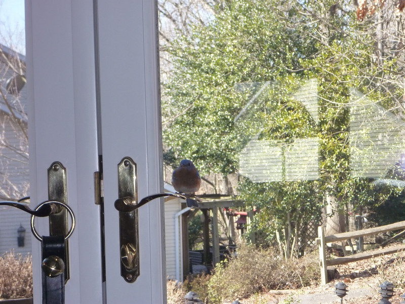 My new pet.... male Eastern Blue Bird....