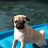 Meatball's first swim