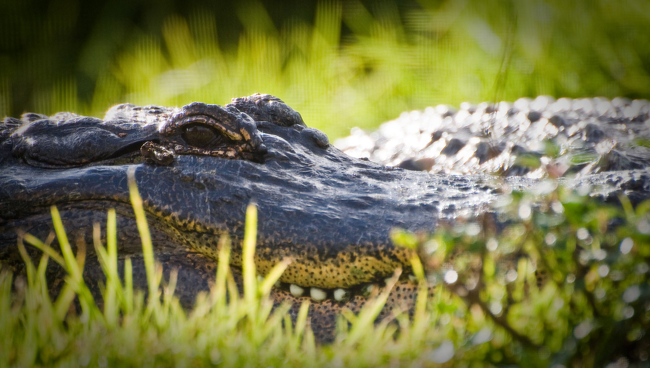 Day #36 - Say Cheese! <br /> <br /> Gator giving me the stink eye.  These guys know they are top dogs.  You can tell by the way they just lie there, without a care in the world.  I think he was hoping I'd get in a bit closer.