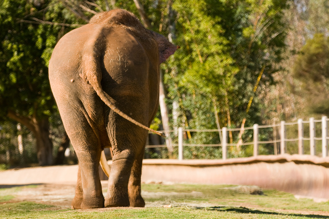 Day #4 - Junk in the trunk ;-)<br /> <br /> A hot little Asian lady taking a stroll at the San Diego Wild Animal Park.