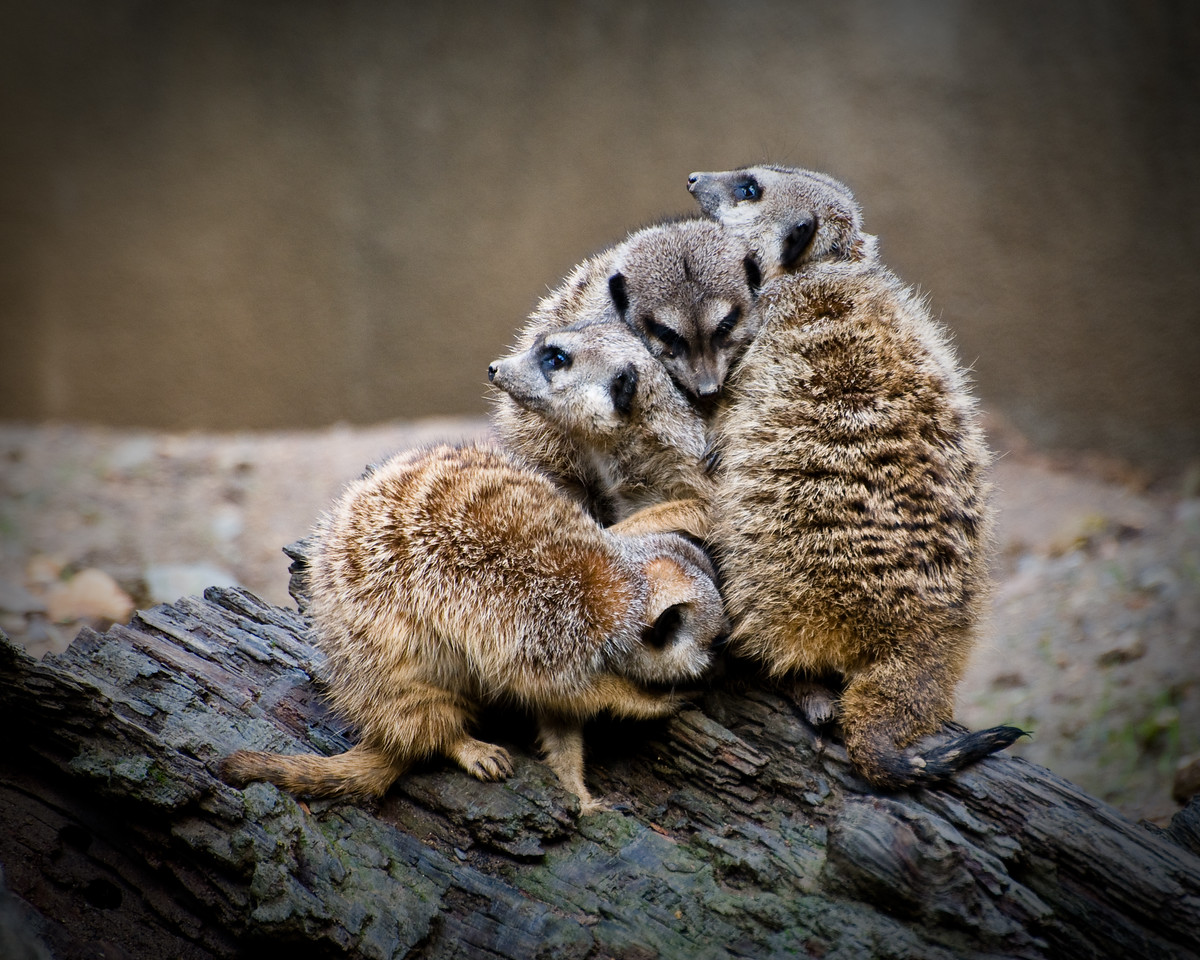 Day #9 - Make room for one more<br /> <br /> Meerkats at the Oakland Zoo