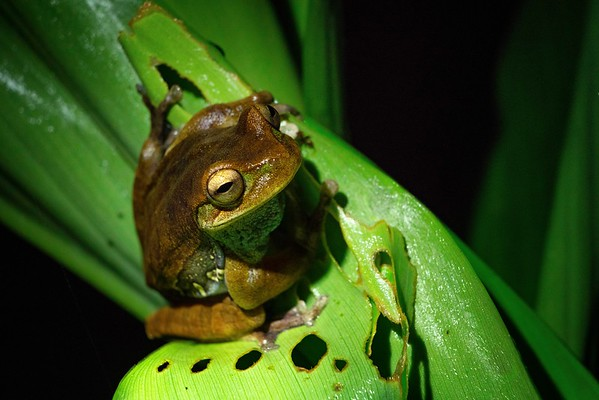 Night Frog, Cosñipata Valley