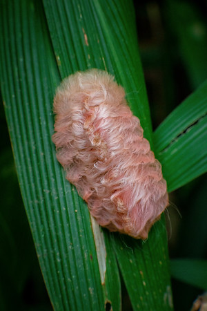Fuzzy Caterpillar, one of the most toxic insects on the planet, Cosñipata Valley