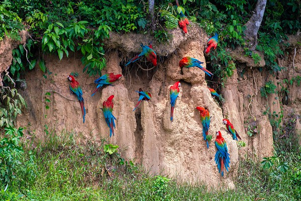 Red and Green Macaws, Madre de Dios, Peru