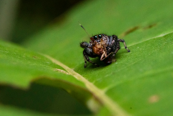 Jumping Spider With Lunch, Cosñipata Valley