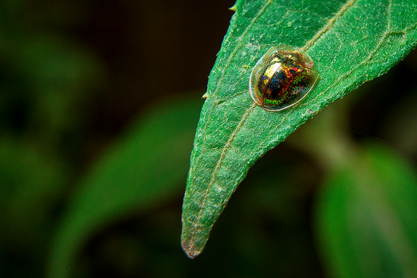 Translucent Beetle, Cosñipata Valley