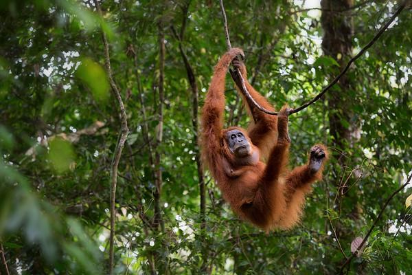 A female Sumatran Orangutan climbs a vine near Bukit Lawang