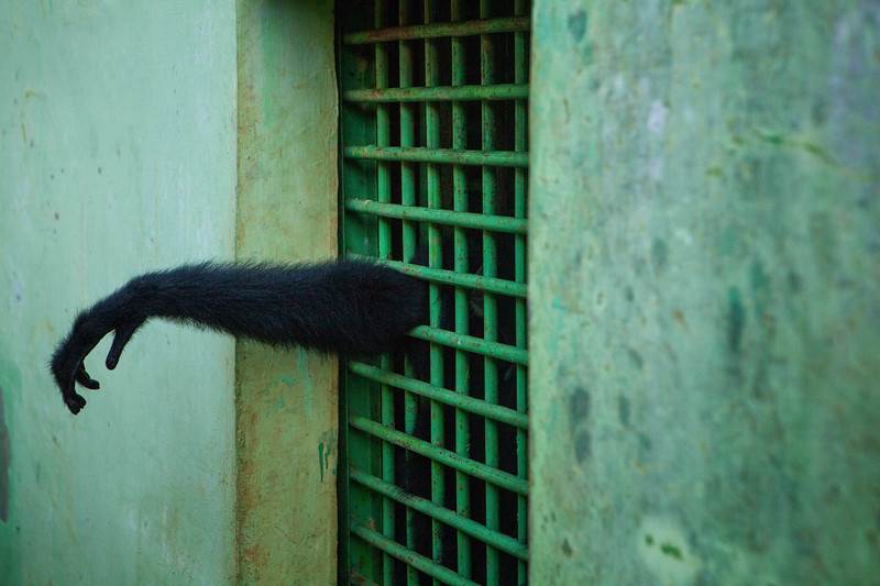 While the rainforests of Sumatra are crucial habitat for many endangered species, it is at risk of being lost. A combination of farming, poaching, and clear cutting has created a dire situation that if left unchanged could eliminate all primary rainforest on the island by 2030. In this image, a gibbon reaches its hand out of a small cage at the Medan City Zoo.