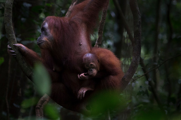 A mother and baby Sumatran Orangutan sit on a vine as the sky darkens and a storm approaches.