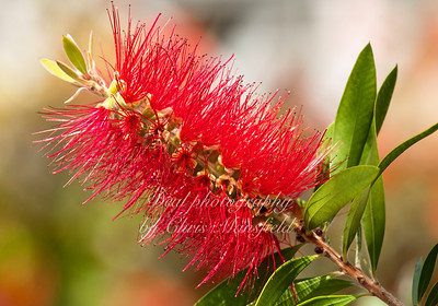 Callistemon,  in the greenhouse at Hall place