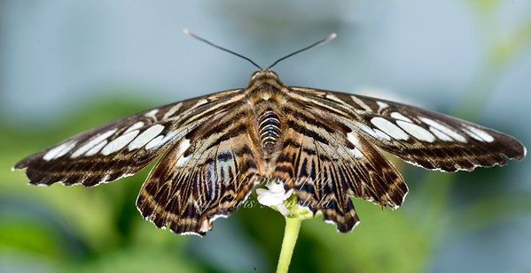 Clipper Butterfly