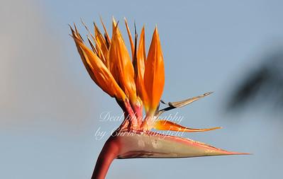 Strelitzia regina,   Madeira,  Nikon 70-200mm