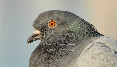 Pidgeon.   Nikon 70-200mm