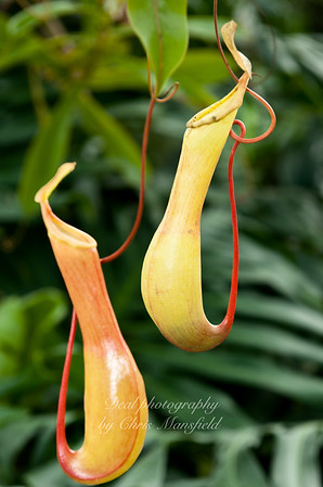 Nepenthes,  the Pitcher plant