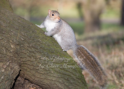 Squirrel at Greenwich Park