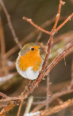 I often see this little robin in a tree by the river at Hall Place.... I dont really know if its the same one every time, but I like to think so as he is very friendly.
