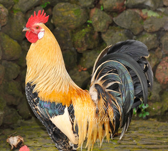 A rather splendid rooster, taken in Madeira
