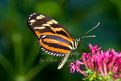 Ismenius Longwing Butterfly