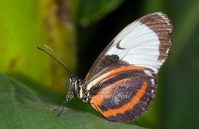 Cydno Butterfly