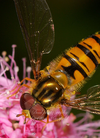 I just bought some extension tubes for the D300 and went off to the garden to see what I could practice on.  I think this little bug is called a hover fly. Its about half the size of a wasp.
