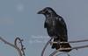 Jan 25th 2018 crow