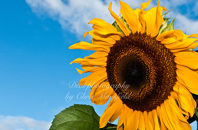 Sunflower at Hall Place gardens