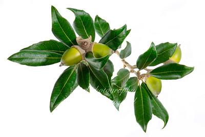 Licaria,   Pepperleaf sweetwood