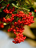 Pyracantha berries, near the Greenhouse