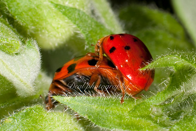 Two ladybugs bonking