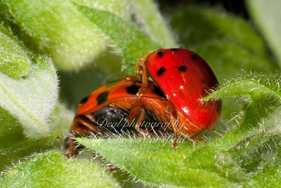Two ladybugs bonking