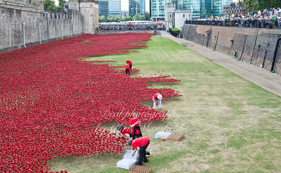 August 9th 2014. Ceramic poppy installation at the tower of London