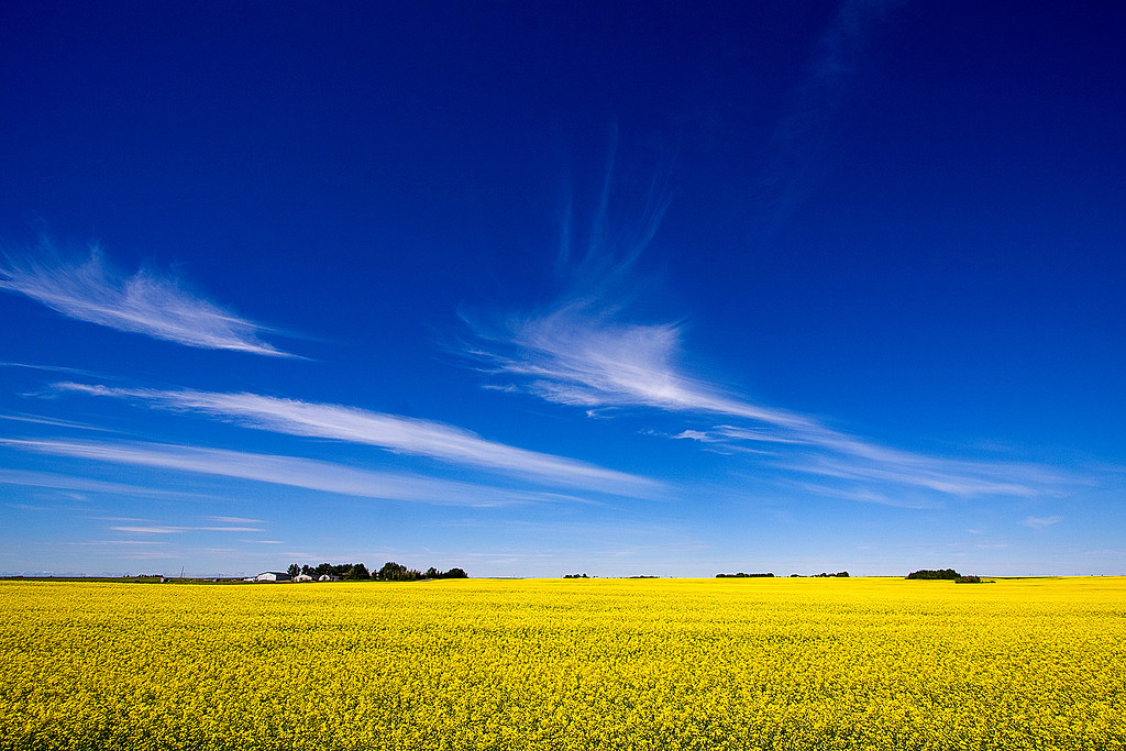 Canola field near Irricana, Alberta.  This is less than an hour away from our front door.  It's amazing what exists so close to our little city of Calgary.