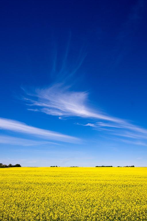Canola field near Irricana, Alberta