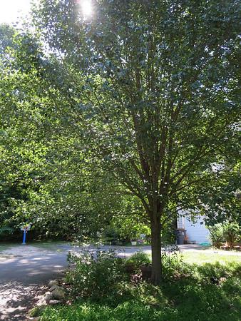 2014_06_02 - L&M's diseased tree