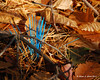 11.03.2011<br /> <br /> You never know what you'll find growing in the woods.  Blue plastic bristles that are sticking up out of the leaves and pine needles along a mountain bike path near work