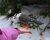 01.02.2011<br /> <br /> With bad snowmobiling conditions we didn't ride before leaving today.  Instead, we relaxed a little more and fed the gray jays near the camp.  Here one takes some bread from my girlfriend's hand