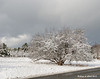 12.30.2013<br /> <br /> Last night's light and sticky snow hasn't blow off this tree yet as noon time nears