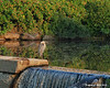 08.21.2013<br /> <br /> This Great Blue Heron takes in the morning sun while standing on a small dam in the town next to mine