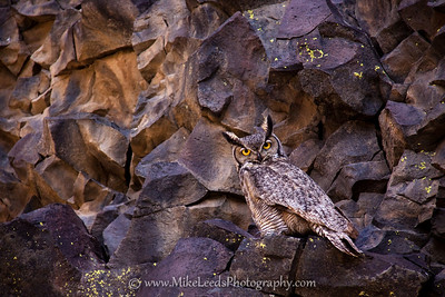 Great Horned Owl in the Black Cliffs along the Boise River, Idaho.