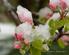 Apple blossoms with snow